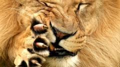 Lions Wallpaper 5314