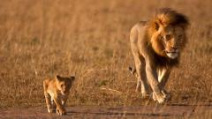 Lions Wallpaper 5315