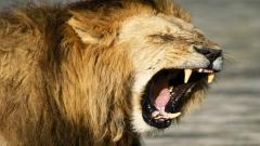 Lions Wallpaper 5329