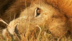 Lions Wallpaper 5330