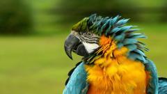 Macaw 35875
