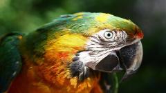 Macaw Background 35857