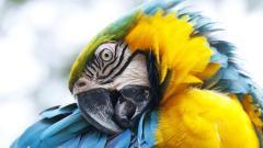 Macaw HD 35855