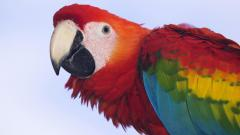 Macaw Wallpaper 35877