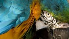 Macaw Wallpaper HD 35867
