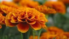 Marigold 29885