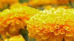 Marigold 29889