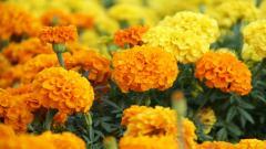 Marigold 29894