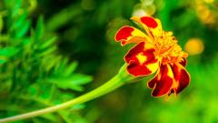 Marigold Background 29888