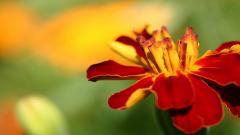 Marigold Flowers 29884