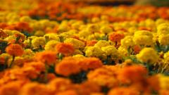 Marigold Flowers 29887