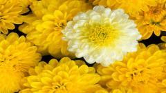 Marigold Flowers 29891