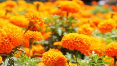 Marigold Flowers 29893