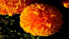Marigold Pictures 29890