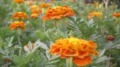 Marigold Wallpaper 29880