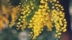 Mimosa Wallpaper 39222