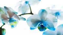 Phalaenopsis Background 39243