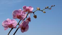 Phalaenopsis Wallpapers 39240