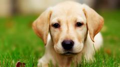 Pretty Labrador 23493
