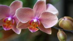 Pretty Phalaenopsis Wallpaper 39239