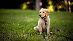 Puppy Labrador 23507