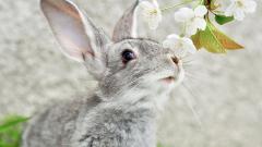 Rabbit Background 35248