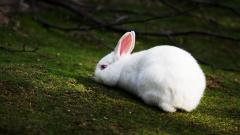 Rabbit HD 35237