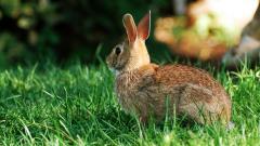 Rabbit Wallpaper 35252