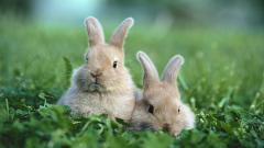 Rabbits 35234