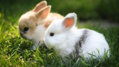 Rabbits 35250