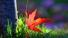Red Leaf Macro Wallpaper 39028
