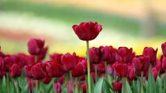 Red Tulips 12655