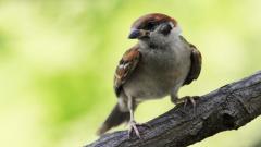 Sparrow 38984