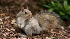 Squirrel 34495
