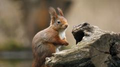 Squirrel Wallpaper 34478