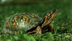 Turtle Wallpaper 4652