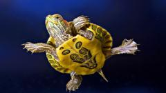 Turtle Wallpaper 4660