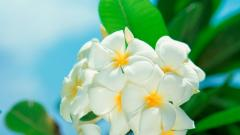 White Flowers Wallpaper 39945