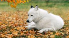 White Husky Wallpaper 39653