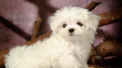 White Poodle Wallpaper 23875