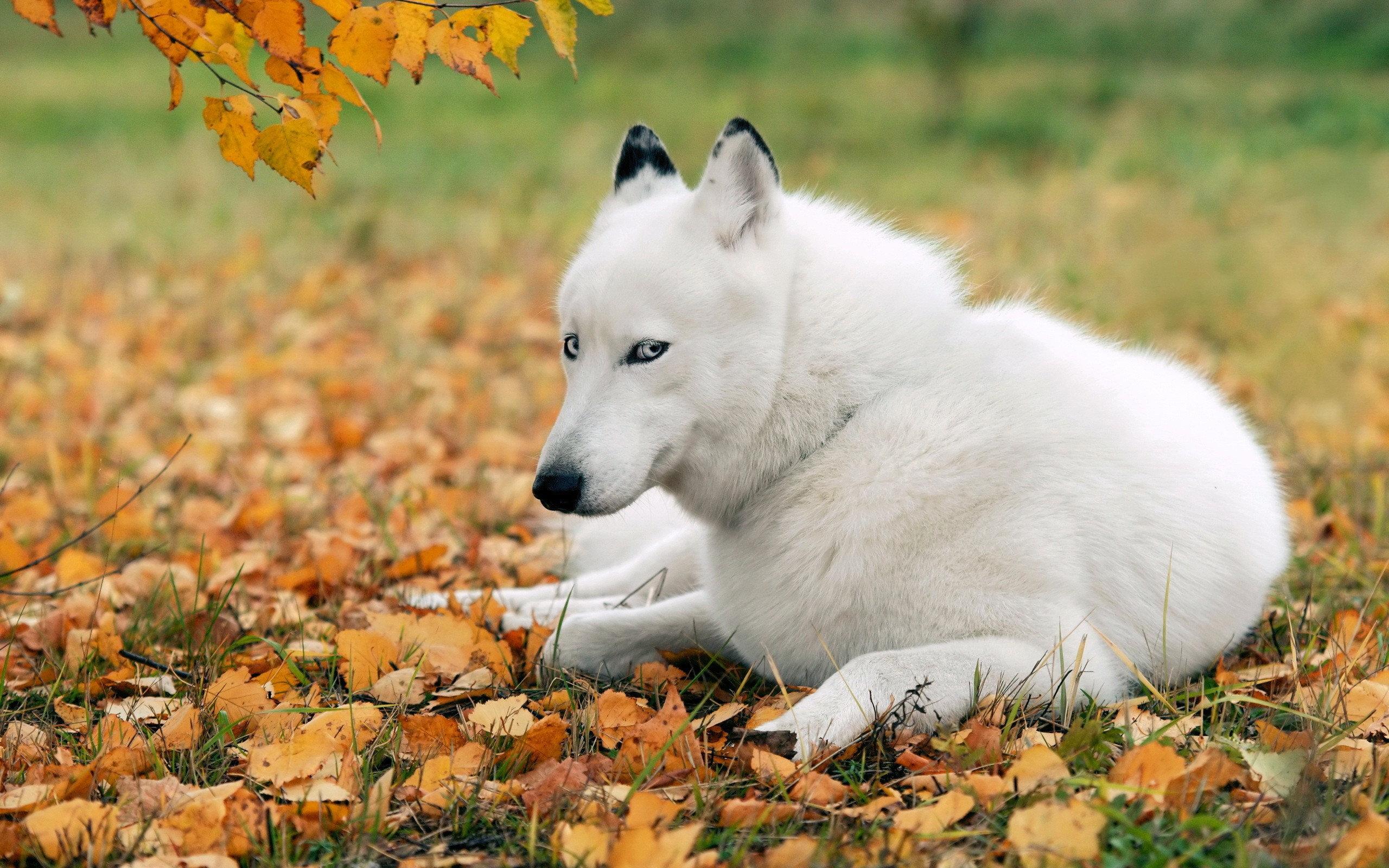 white husky wallpaper 39653