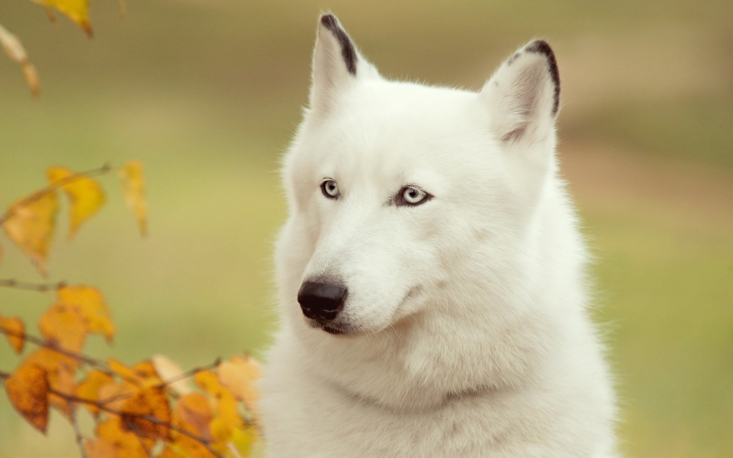 white husky wallpapers 39654