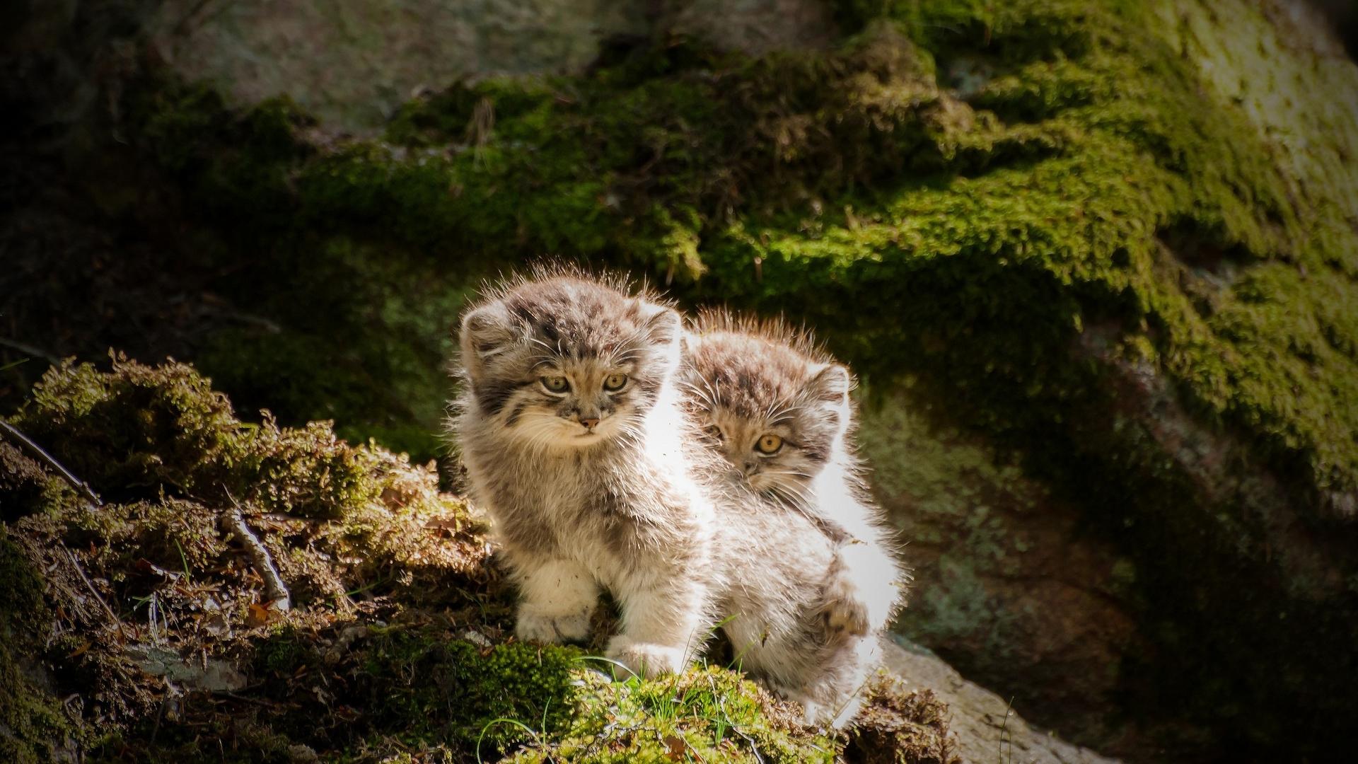 adorable lynx wallpaper 38480