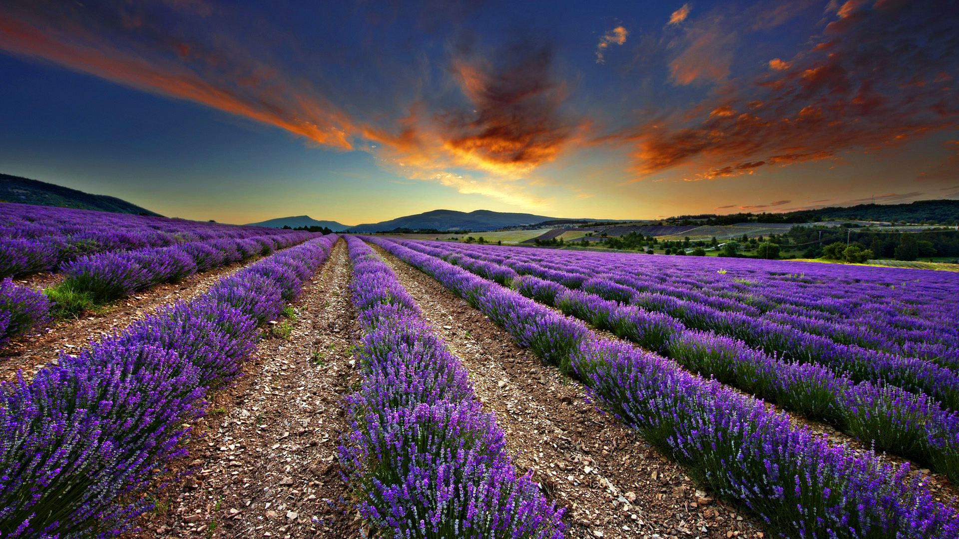 amazing lavender wallpaper 21783