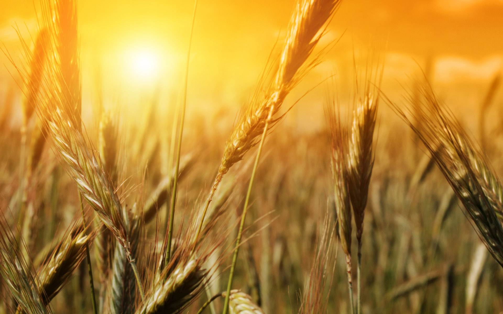 awesome wheat wallpaper 24057
