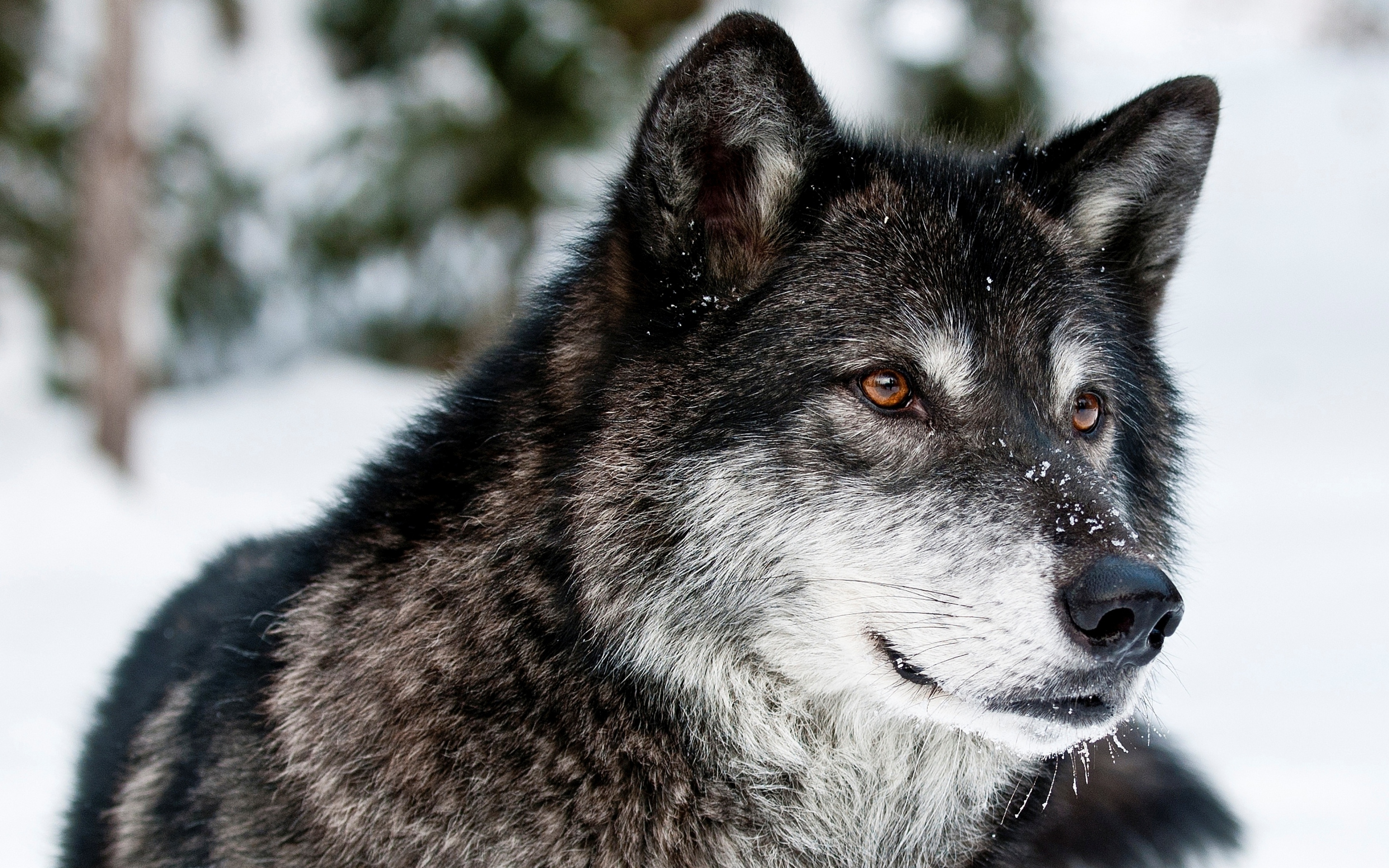 awesome wolf up close wallpaper 39805 3840x2400 px