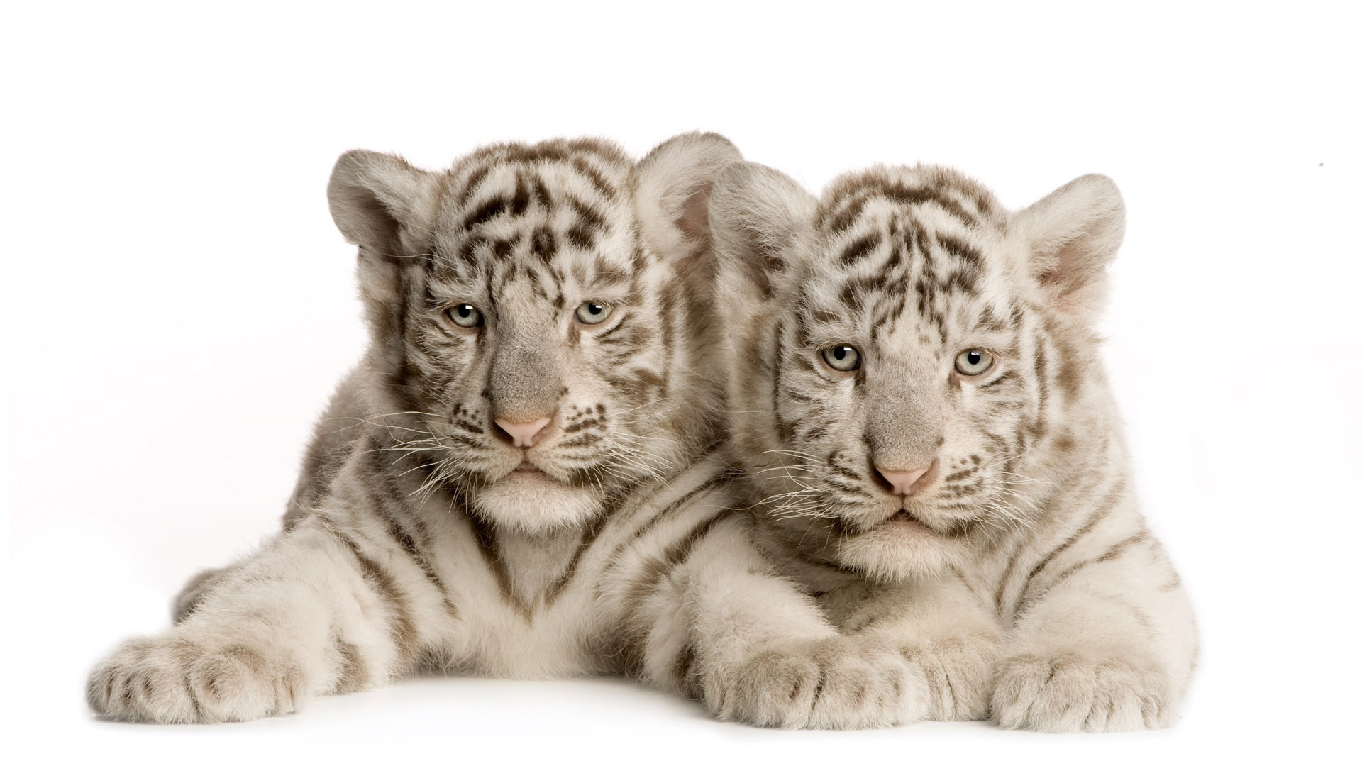 baby white tigers 25677
