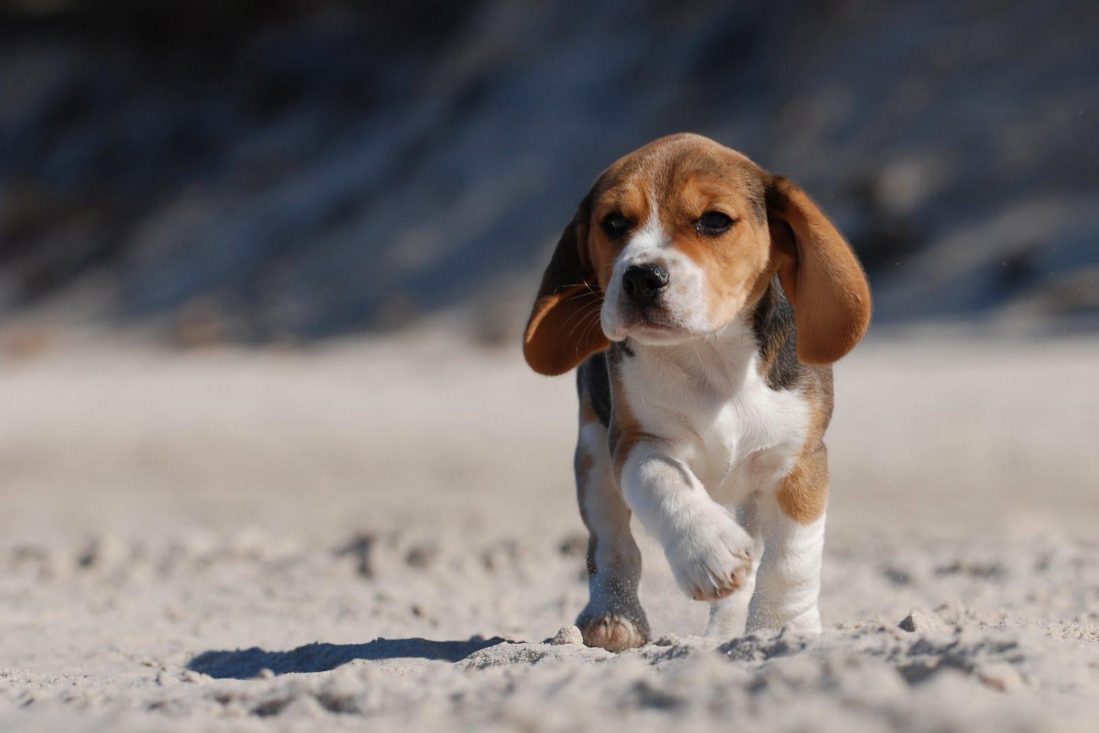 beagles 21800