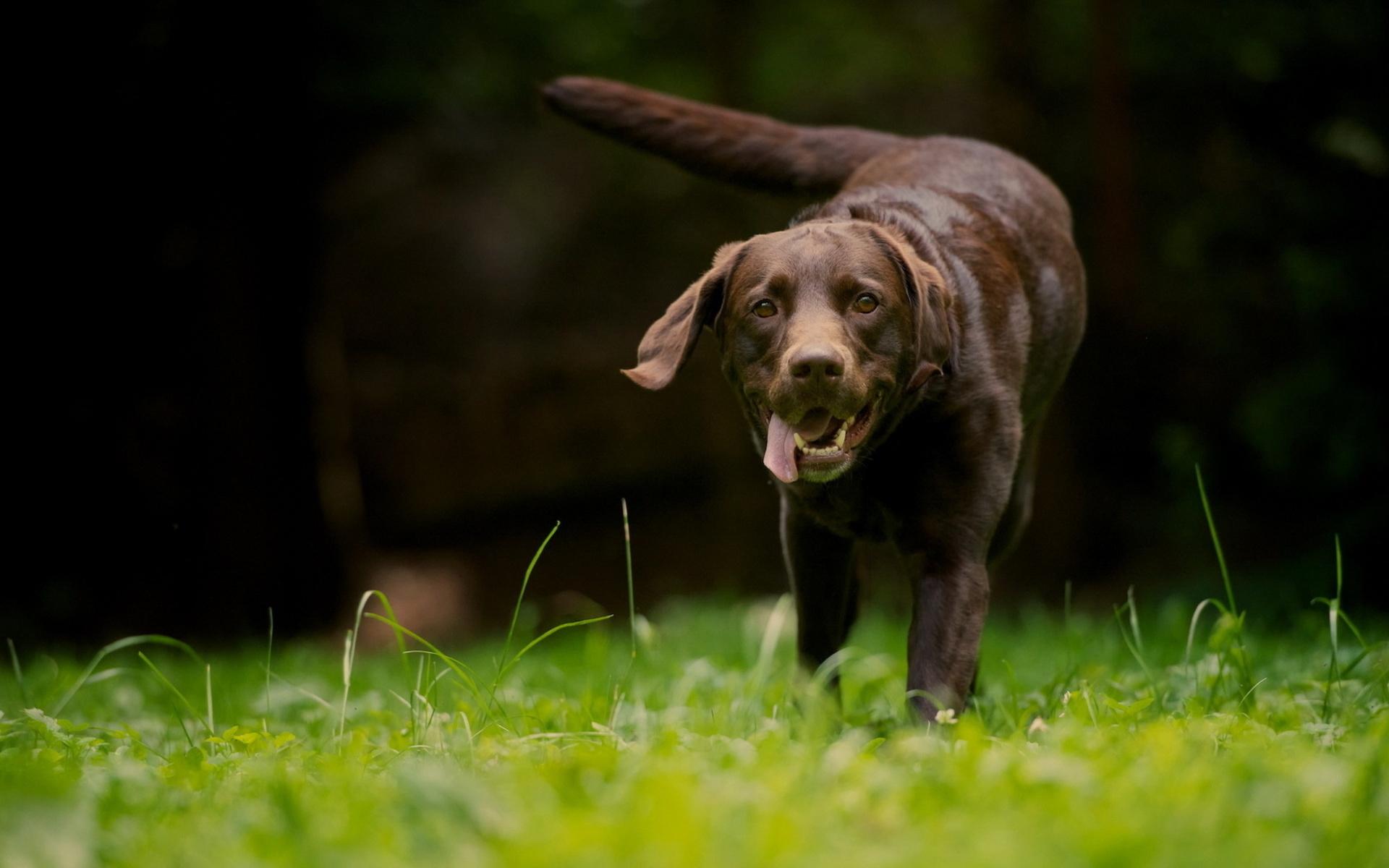 beautiful brown dog wallpaper 44102