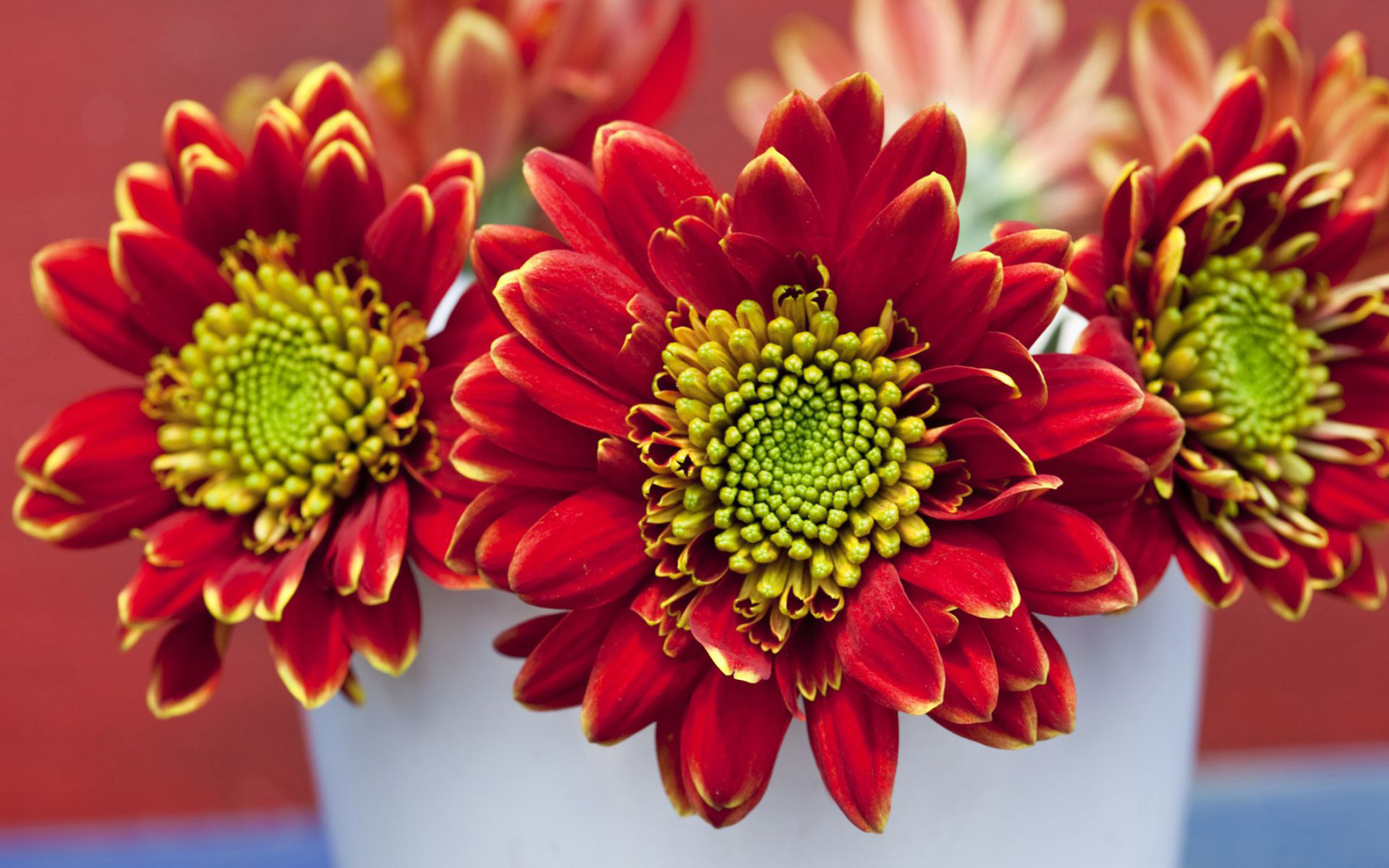 beautiful chrysanthemums wallpaper 35291
